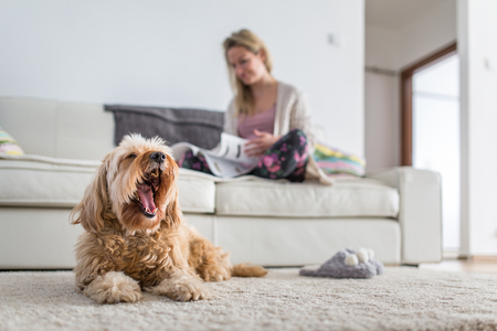Foto de Dog in a modern , bright living room on carpet, a ted bored while his owner is busy working from home - Imagen libre de derechos