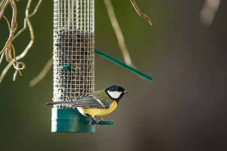 Photo pour Great tit (Parus major) on a feeder in a garden, hungry during winter - image libre de droit
