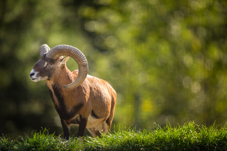 Foto de European mouflon (Ovis orientalis musimon) - Imagen libre de derechos