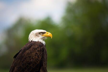 Foto de Portrait of a proud majestic American Bald Eagle - Imagen libre de derechos
