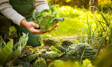 Foto de Senior gardener gardening in his permaculture garden -  holding a splendid Savoy Cabbage head - Imagen libre de derechos