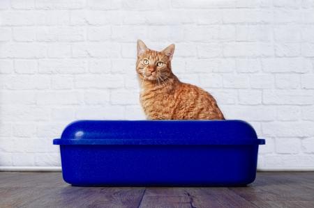 Foto de Ginger cat in blue plastic litter box - Imagen libre de derechos
