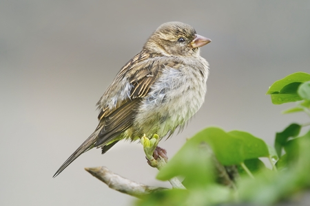 Photo for Close-up of a Sparrow song perched on a branch. - Royalty Free Image