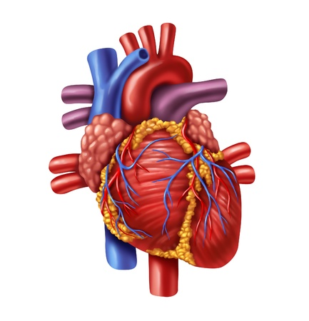 Human heart anatomy from a healthy body isolated on white background as a medical health care symbol of an inner cardiovascular organ.
