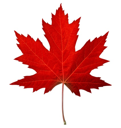 Red maple leaf as an autumn symbol as a seasonal themed concept as an icon of the fall weather on an isolated white background