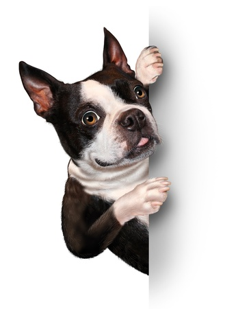 Dog with a blank card vertical sign as a Boston Terrier with a smiling happy expression supporting and communicating a message pertaining to pet care on white