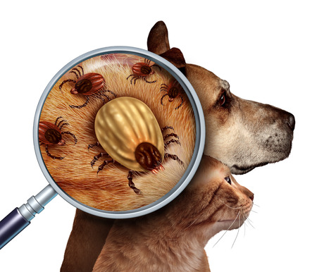 Pet Tick as a group of dog and cat ticks in the fur as a close up magnifcation of a female parasite engored with blood from the host as a veterninary health care symbol for dangerous disease causing insect pests.