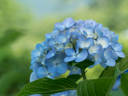 Photo for Beautiful blue hydrangea is blooming in the summer forest - Royalty Free Image