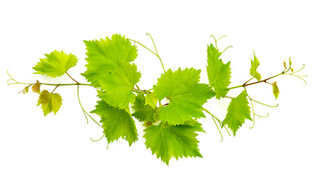 Photo pour banch of vine leaves isolated on white background - image libre de droit
