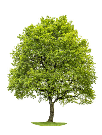 Photo for Green young oak tree isolated on white background. Nature object - Royalty Free Image
