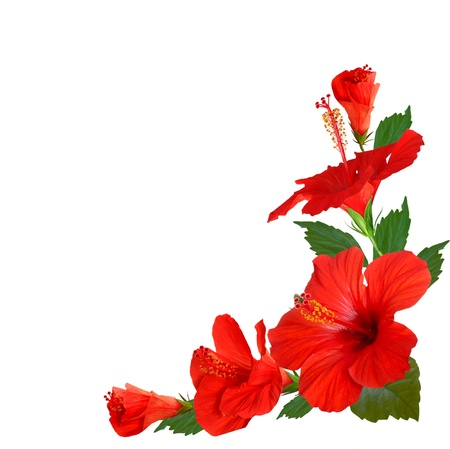 Photo for hibiscus flowers - Royalty Free Image