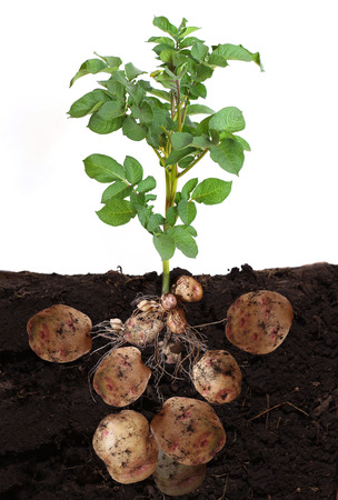 Photo for potato vegetable with tubers and leaves in ground. - Royalty Free Image
