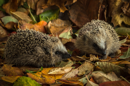 Photo for two young hedgehogs in autumn leaves - Royalty Free Image