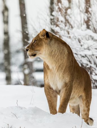 Photo for Lion, Panthera leo, Lioness standing in snow, bright background. Captive animal in a zoo in Kristiansand, Norway, the animals often choose to go outside in the cold snow even if they can stay inside. - Royalty Free Image