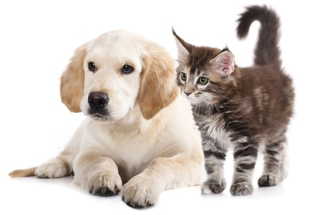 Labrador puppy and kitten breeds May Kung, Cat and dog