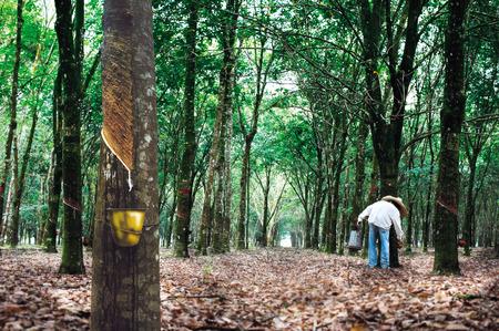 Photo pour Rubber tree plantation - image libre de droit