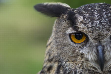 Photo for owl and her eyes - Royalty Free Image