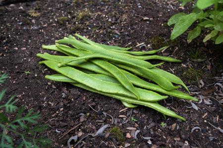 Photo pour Freshly picked Scarlet Emperor runner beans on garden soil outdoors. Diagonal composition. - image libre de droit