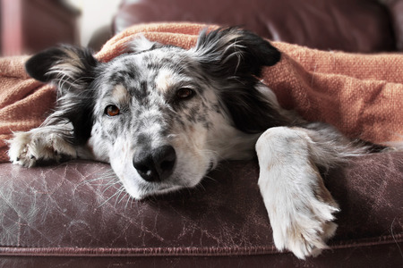 Foto de Border collie / australian shepherd dog on couch under blanket looking sad bored lonely sick depressed - Imagen libre de derechos