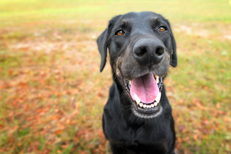 Foto de Black labrador retreiver greyhound mix dog sitting outside  watching waiting alert looking happy excited while panting smiling and staring at camera - Imagen libre de derechos