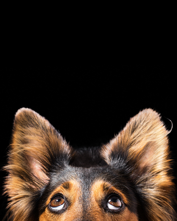 Foto de Close up of Black and brown mix breed dog or canine face looking up with big eyes and perky ears while curious interested adorable cute watching patient wanting hungry focused begging wishing hoping - Imagen libre de derechos