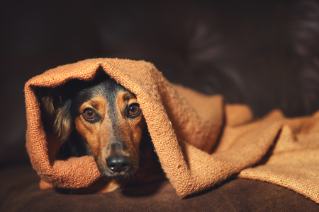 Foto de Small black and brown dog hiding under orange blanket on couch looking scared worried alert frightened afraid wide-eyed uncertain anxious uneasy distressed nervous tense - Imagen libre de derechos