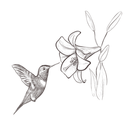 Illustrazione per Hummingbird bird nectar flower. Hummingbird and lily hand drawing vector illustration - Immagini Royalty Free