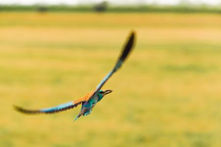 Foto de European roller flying - Imagen libre de derechos