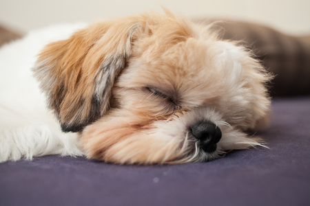 Photo for Sleeping Shih Tzu on a bed having sweet dreams - Royalty Free Image