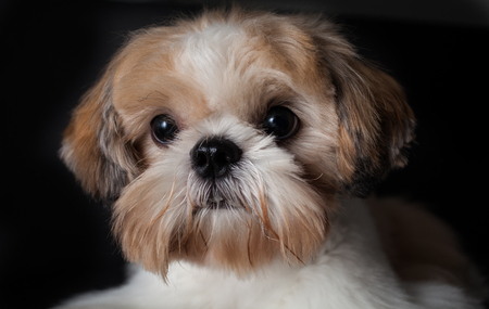 Photo pour Studio shot of a female Shih Tzu in isolated black background - image libre de droit