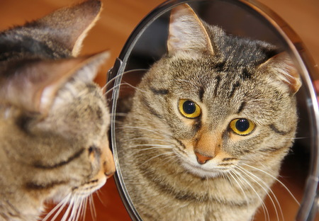 Reflection. Gray cat looking into the mirror,