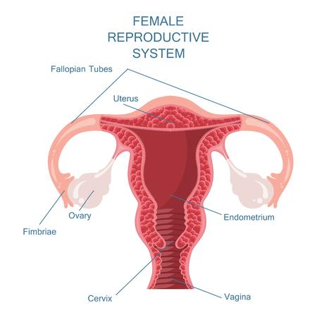 Ilustración de Female reproductive system vector illustration - Imagen libre de derechos