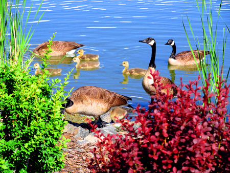 Photo for swimming geese - Royalty Free Image