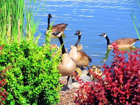 Photo for geese - Royalty Free Image