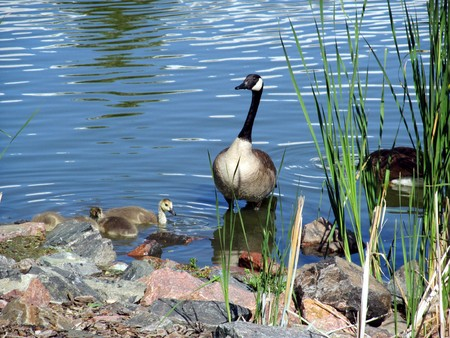 Photo for Geese standing on river bank - Royalty Free Image