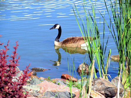 Photo for goose swimming - Royalty Free Image