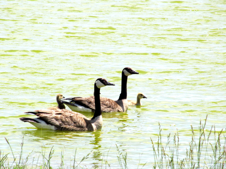 Photo for Geese family swimming - Royalty Free Image
