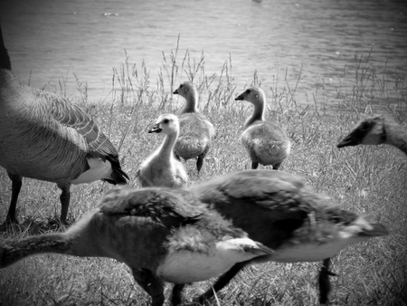 Photo for Black and white photo of Geese - Royalty Free Image