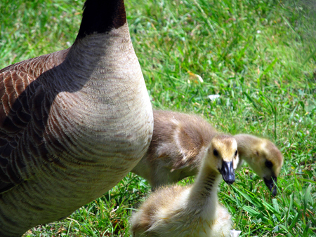 Photo for baby geese - Royalty Free Image