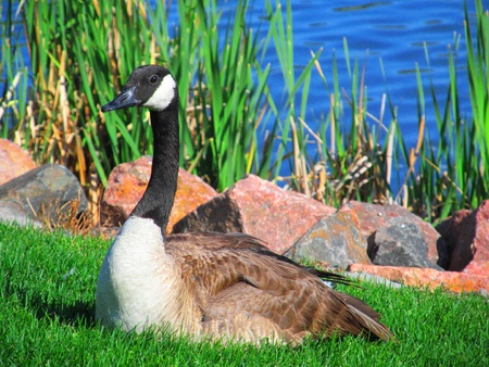 Photo for goose - Royalty Free Image