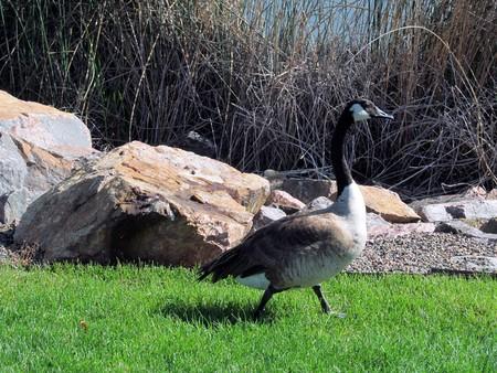 Photo for goose walking - Royalty Free Image
