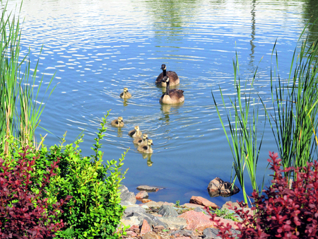 Photo for geese and baby - Royalty Free Image