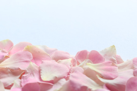 Photo for Petals pink damask rose on white background, copy space for text - Royalty Free Image