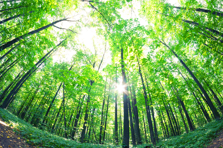 Photo for Green forest. Tree with green Leaves and sun light. Bottom view background - Royalty Free Image