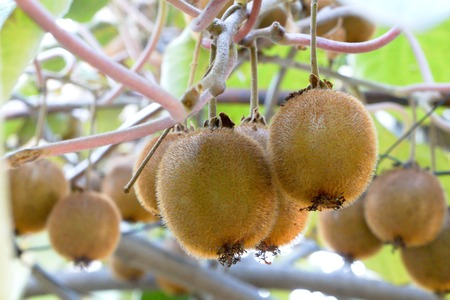 Photo for Kiwi fruits growing on the branch - Royalty Free Image