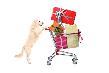 Retriever dog pushing a shopping cart full of wrapped presents isolated on white background