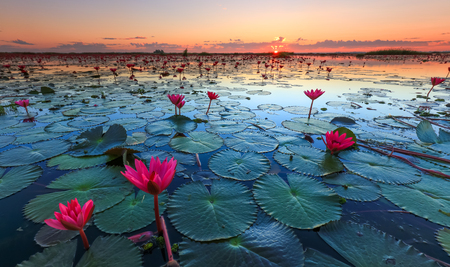 Foto de The sea of red lotus, Lake Nong Harn, Udon Thani province, Thailand - Imagen libre de derechos