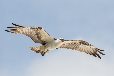 Foto de Flying osprey (Pandion haliaetus), Everglades National Park, Florida - Imagen libre de derechos