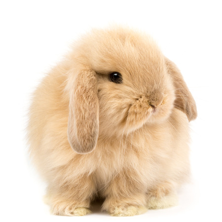 Photo for Baby Holland lop rabbit - Isolated on white - Royalty Free Image
