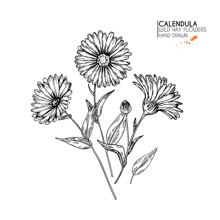 Foto de Hand drawn wild hay flowers. Calendula flower. Medical herb. Vintage engraved art. Botanical illustration. Good for cosmetics, medicine, treating, aromatherapy, nursing, package design field bouquet - Imagen libre de derechos